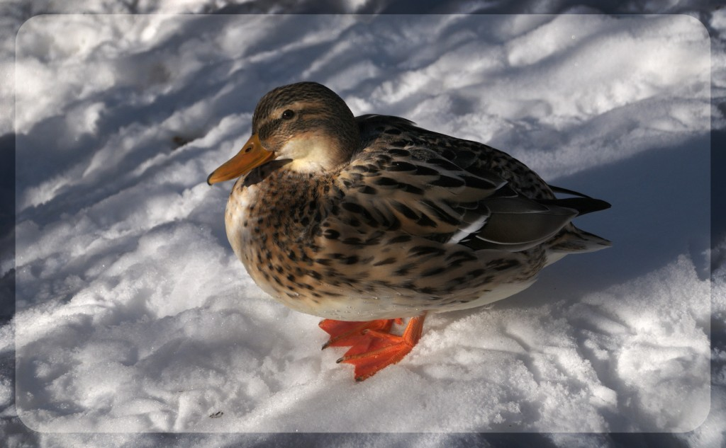 duckinsnow