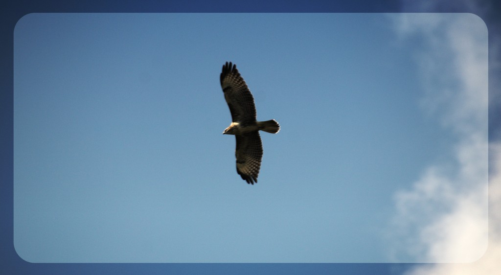buzzard3