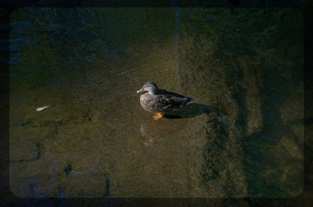 duckpf