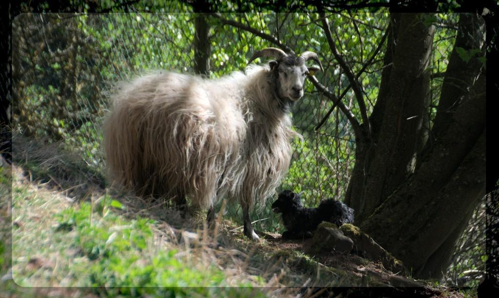 black-lamb